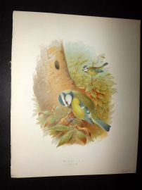 Butler, Frohawk & Gronvold 1908 Antique Bird Print. Blue Tit 42